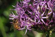 L'ail purple sensation