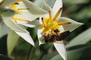 La tulipe nénuphar