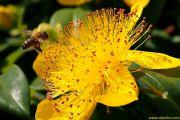 Le millepertuis à grandes fleurs