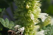 L'agastache à fleurs blanches