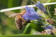 La vipérine faux-plantain