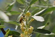 L'olivier de Bohême